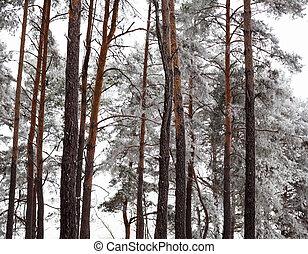 pokrytý, les, borovice, jíní