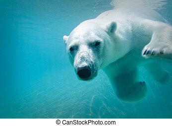 polär björn simma
