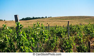 pola, hillsides, winogrono, horyzont