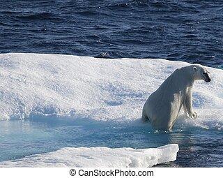 polaire beren, floe, arctisch, ijs, sea), (canadian, nunavut
