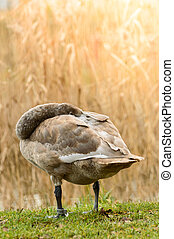 Cygnus, A resting swan on the shore of the pond.