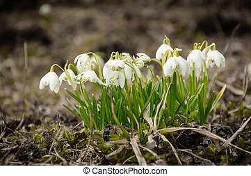 White snowflake flowers, a harbinger of the coming spring. -...