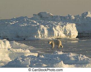 polar, ártico, -, urso, svalbard