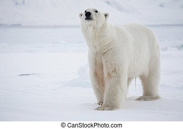 polar, arktisch, -, bär, koenig