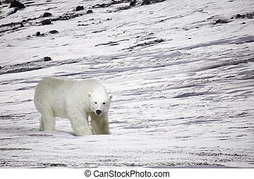 Polar Bear - A polar bear in a wild natural setting,...