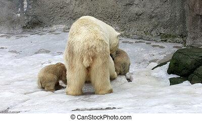 Polar bear and bear-cubs feeding - Polar bear and cubs...