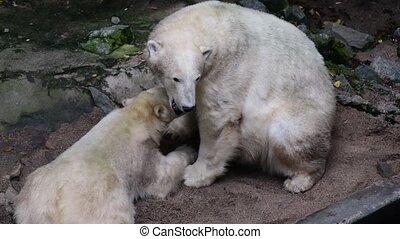 Polar Bear and young polar bear. Geographic Range:...