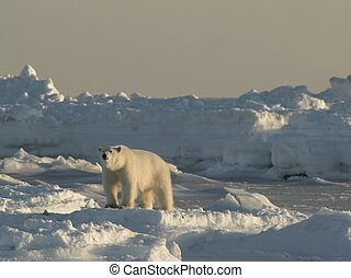 Polar bear - Arctic winter