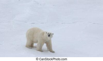 Polar bear at North pole (86-88 degrees). Fat bear male -...