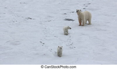 Polar bear at North pole (86 degrees). Family of bears (two...