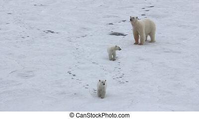 Polar bear at North pole (86 degrees). Family of bears (two...