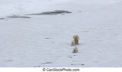 Polar bear at North pole. Family of bears (two cubs) is...