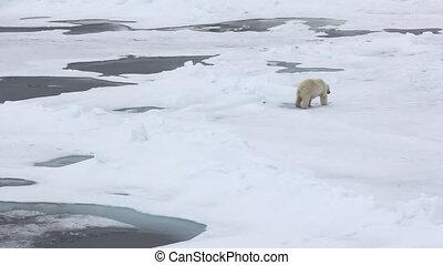 Polar bear at North pole. Fat bear male goes to ice hummocks...