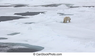 Polar bear at North pole. Fat bear male goes to ice hummocks...