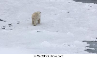 Polar bear at North pole. Fat bear male goes back - Polar...