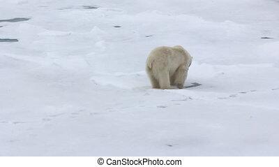 Polar bear at North pole. Male licked - Polar bear at North...