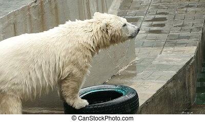 Polar bear at the zoo - Polar bear playing with a car tire,...