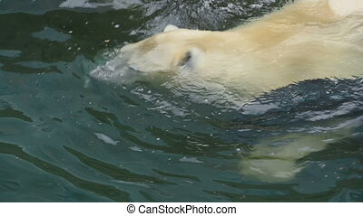 Polar bear at the zoo - Polar bear swimming at the pool and...