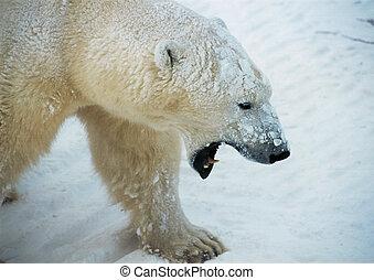 Polar bear baring teeth