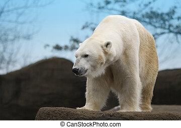 Beautiful white polar bear on a rocky ledge.