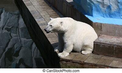 Polar bear begging for a treat.