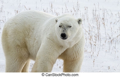Polar Bear Bruiser