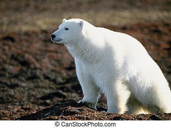 Polar bear - Canada, polar bear