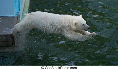 Polar bear cub playing in water - Polar bear six-month cub...