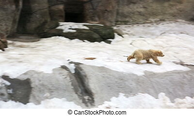 Polar bear cub running to mother-bear - Polar bear cub...