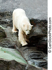 Polar bear down on the rocks