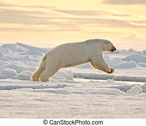 polar bear, het springen, in, de, sneeuw