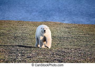 Polar bear in dark and lifeless Arctic desert.