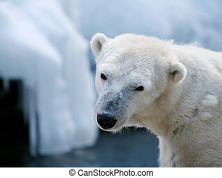 Polar bear in front of the ice.