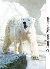 Polar bear in morning sun