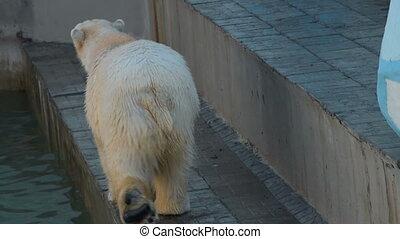 Polar bear in outdoor aviary - Polar bear walking in its...