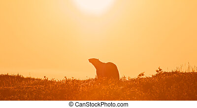 Polar Bear in the sunset