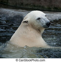 polar bear in the water