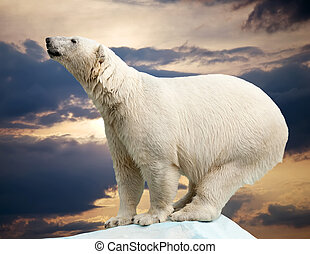 polar bear in wildness area against sunset