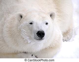 Polar bear laying down