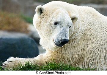 Polar bear laying down and looking backward