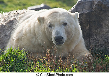Polar bear looking