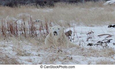 Polar bear lying in the snow at looking at camera