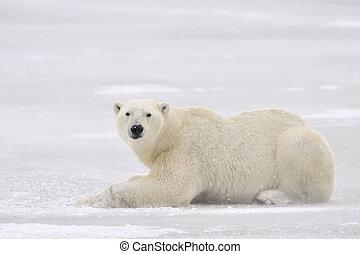 Polar bear lying on ice.