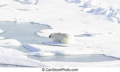 Polar bear lying on sea ice in Arctic
