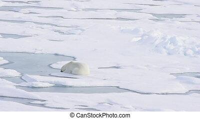 Polar bear lying on sea ice in Arctic
