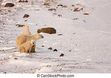 Polar Bear Mother and Cubs Surveying Area