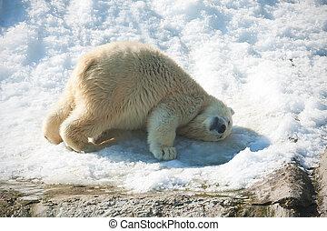 Polar bear - Nice photo of cute white polar bear