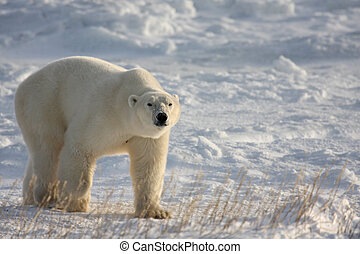 Polar bear on the arctic snow - Large polar bear on the...