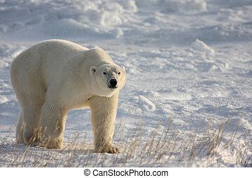 Large polar bear on the arctic snow near Hudson Bay, sniffing the air