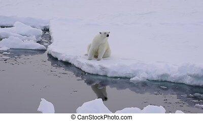 Polar bear on the ice - Polar bear sits on the edge of ice...